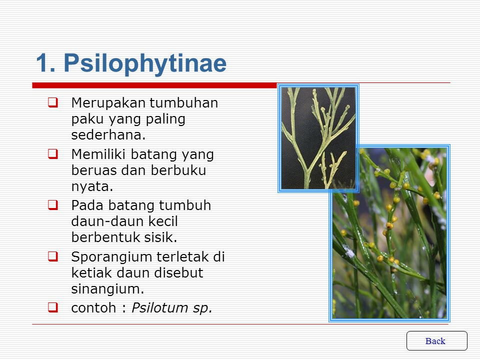 1. Psilophytinae Merupakan tumbuhan paku yang paling sederhana.