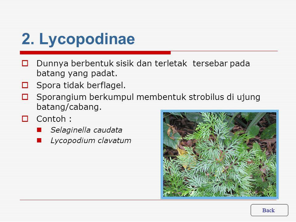 2. Lycopodinae Dunnya berbentuk sisik dan terletak tersebar pada batang yang padat. Spora tidak berflagel.