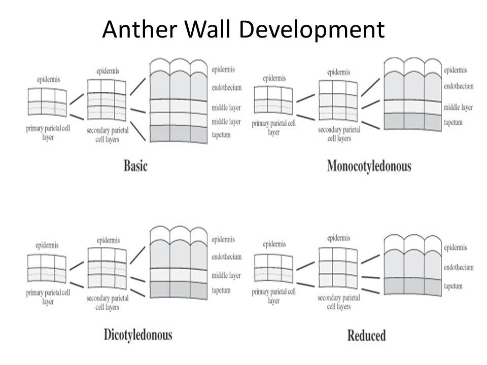 Anther Wall Development