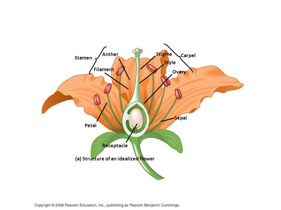 (a) Structure of an idealized flower