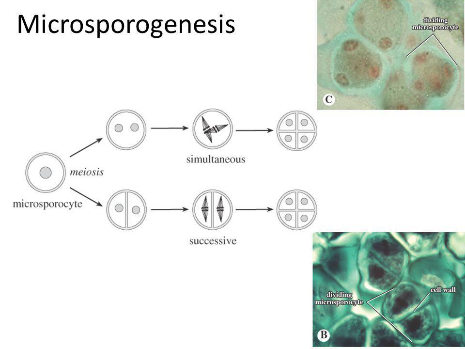 Microsporogenesis