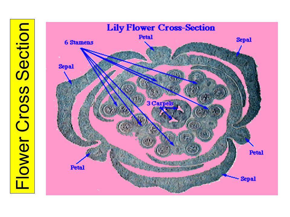 Flower Cross Section