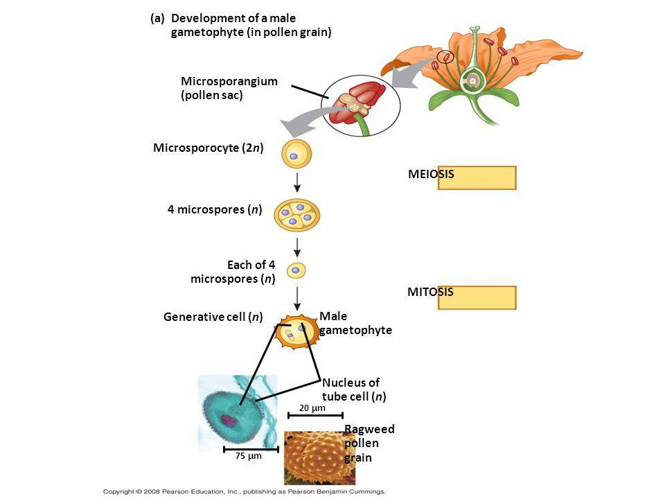 gametophyte (in pollen grain)