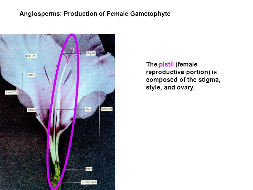 Angiosperms: Production of Female Gametophyte