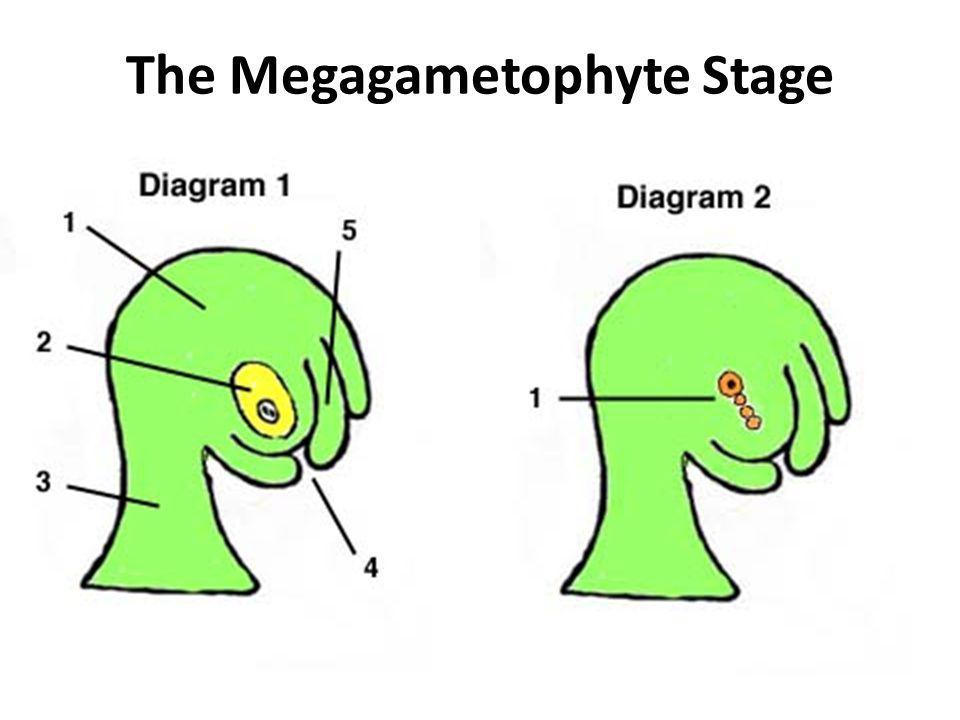 The Megagametophyte Stage