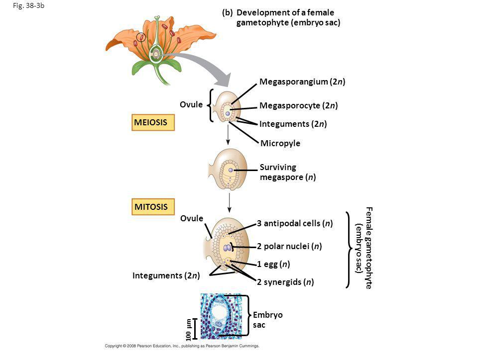 Female gametophyte (embryo sac)