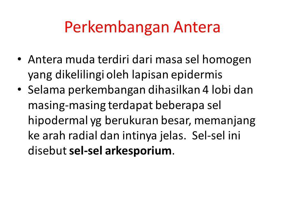Perkembangan Antera Antera muda terdiri dari masa sel homogen yang dikelilingi oleh lapisan epidermis.