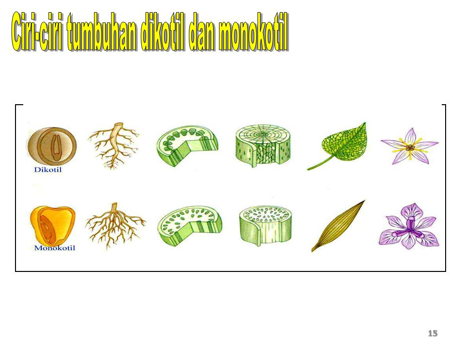 Ciri-ciri tumbuhan dikotil dan monokotil