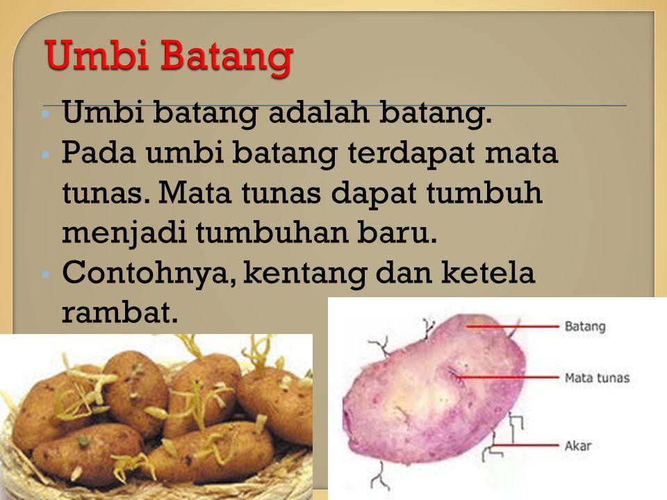 Umbi Batang Umbi batang adalah batang.