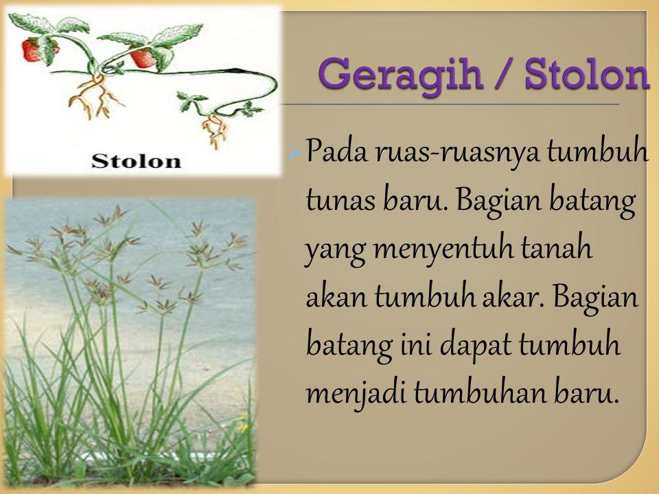 Geragih / Stolon