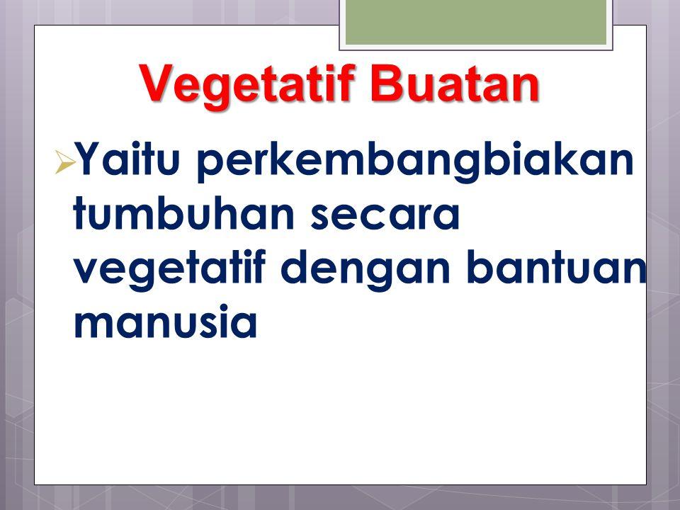 Vegetatif Buatan Yaitu perkembangbiakan tumbuhan secara vegetatif dengan bantuan manusia