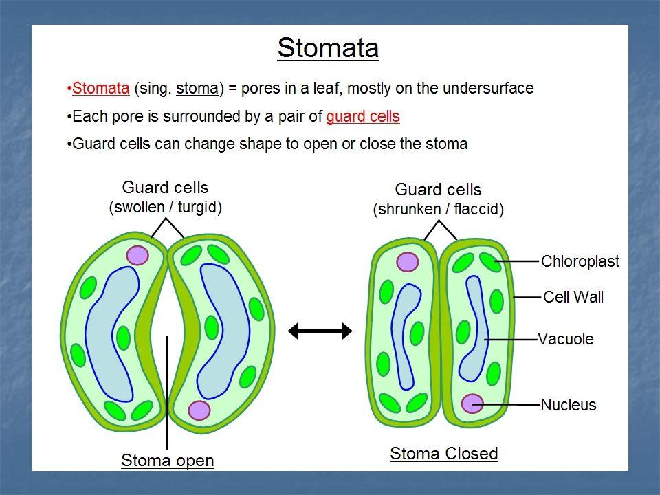 DERIVAT EPIDERMIS Merupakan sel epidermis yg mengalami diferensiasi :
