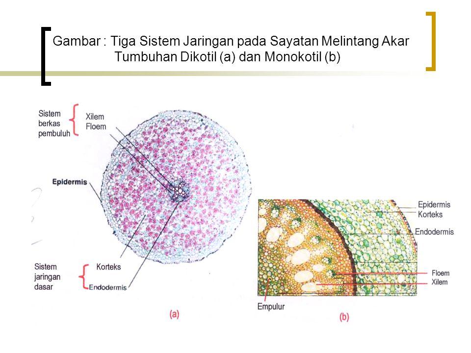 Gambar : Tiga Sistem Jaringan pada Sayatan Melintang Akar