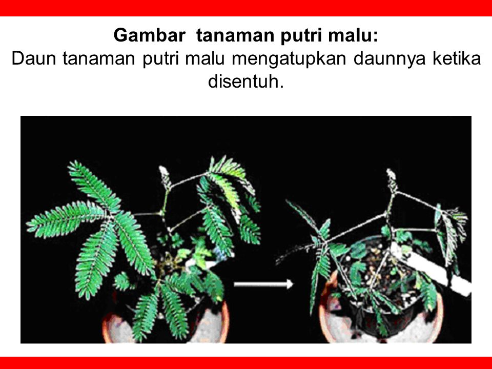 Gambar tanaman putri malu: