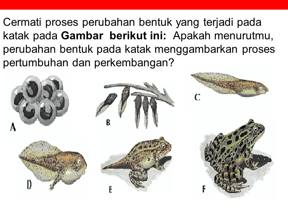 Cermati proses perubahan bentuk yang terjadi pada katak pada Gambar berikut ini: Apakah menurutmu, perubahan bentuk pada katak menggambarkan proses pertumbuhan dan perkembangan