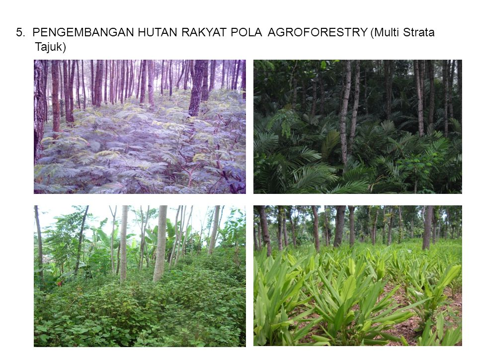 5. PENGEMBANGAN HUTAN RAKYAT POLA AGROFORESTRY (Multi Strata Tajuk)