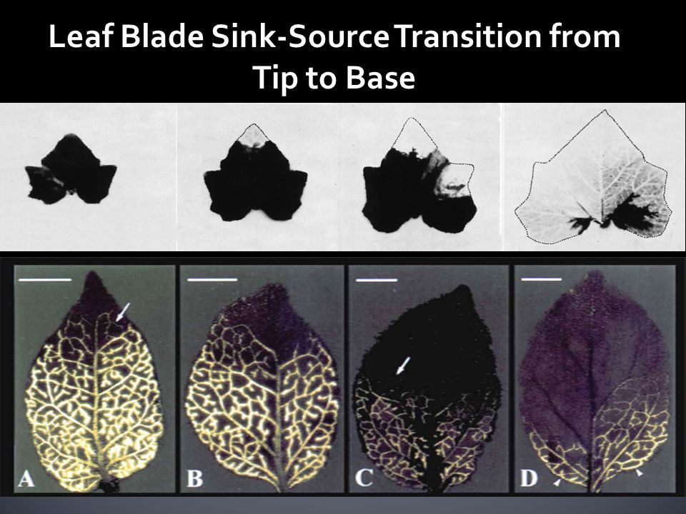 Leaf Blade Sink-Source Transition from Tip to Base