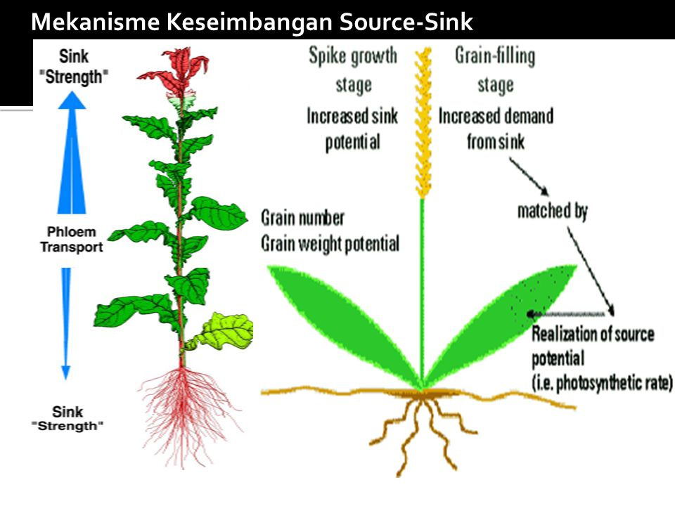 Mekanisme Keseimbangan Source-Sink