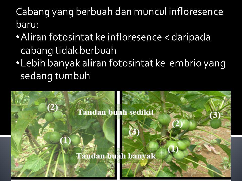 Cabang yang berbuah dan muncul infloresence baru: