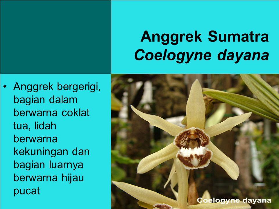 Anggrek Sumatra Coelogyne dayana