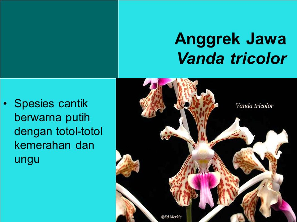 Anggrek Jawa Vanda tricolor