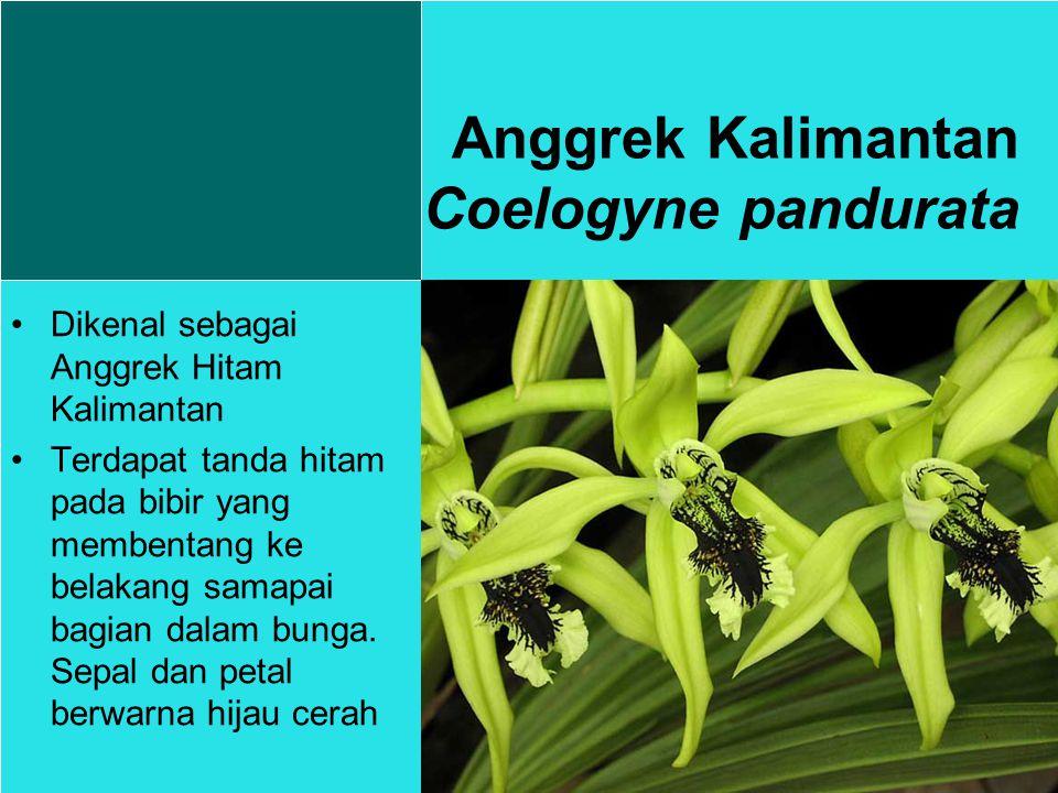 Anggrek Kalimantan Coelogyne pandurata