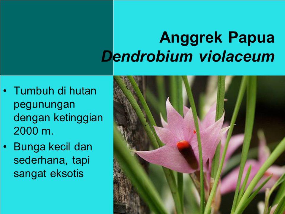 Anggrek Papua Dendrobium violaceum