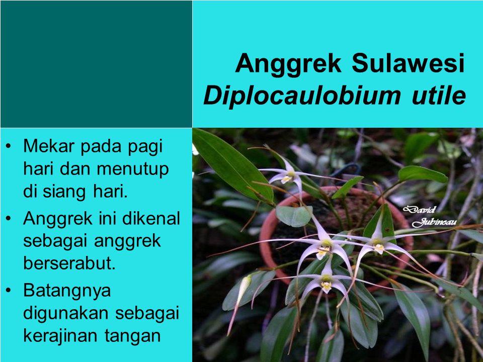 Anggrek Sulawesi Diplocaulobium utile