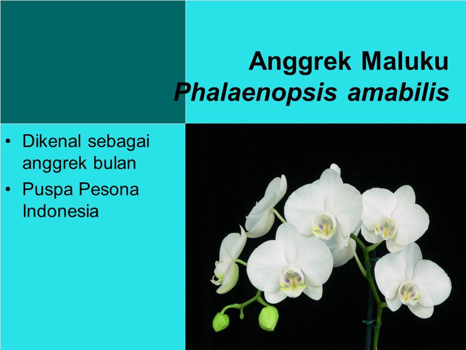 Anggrek Maluku Phalaenopsis amabilis