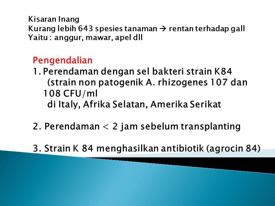 Perendaman dengan sel bakteri strain K84