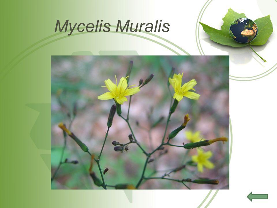 Mycelis Muralis