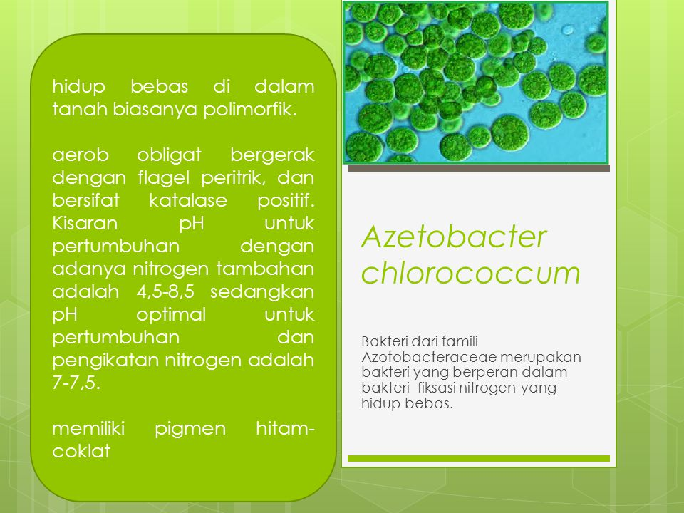 Azetobacter chlorococcum