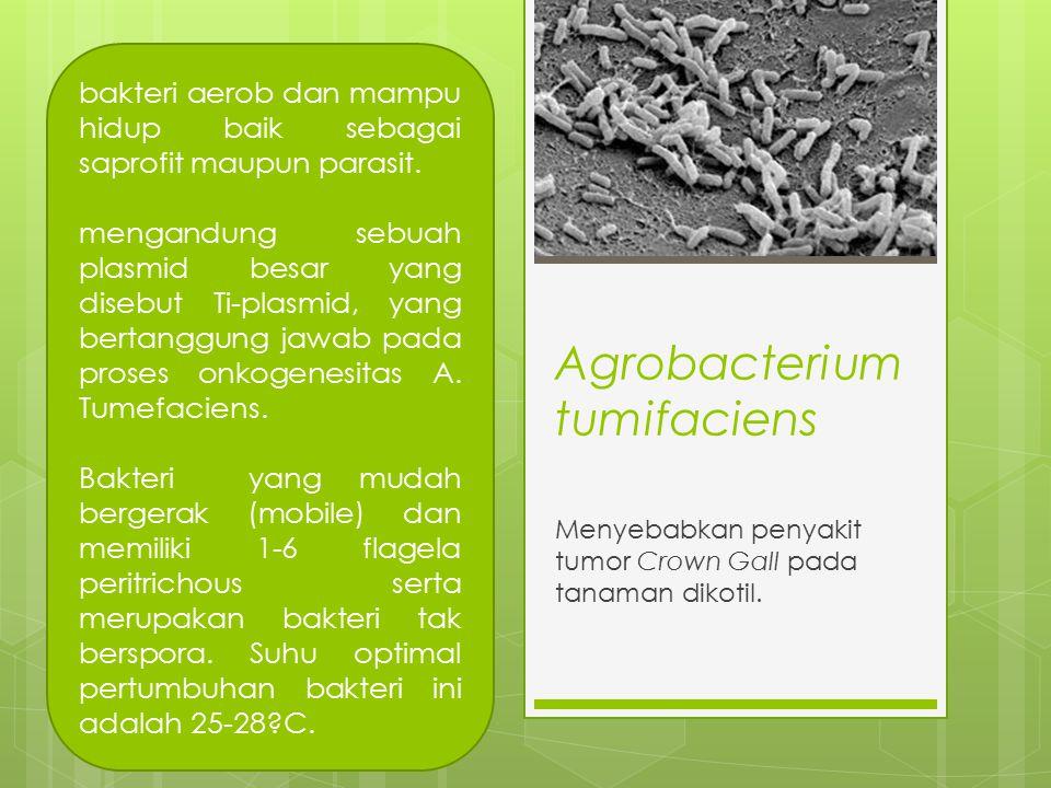 Agrobacterium tumifaciens