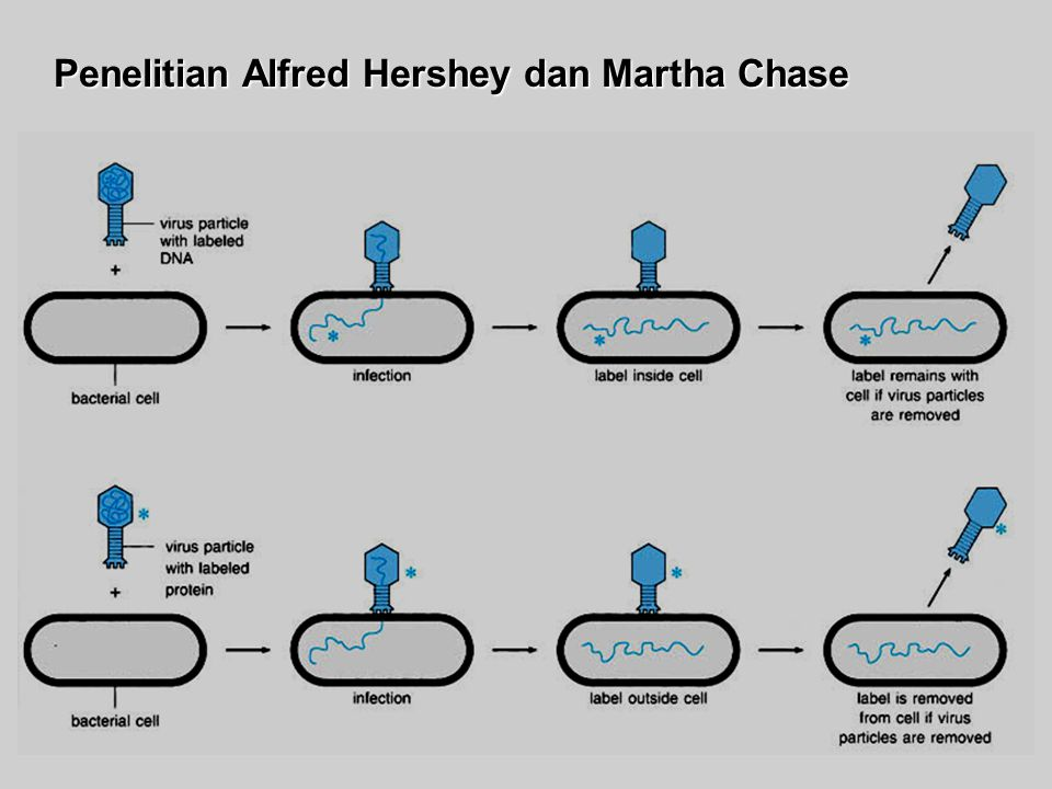 Penelitian Alfred Hershey dan Martha Chase