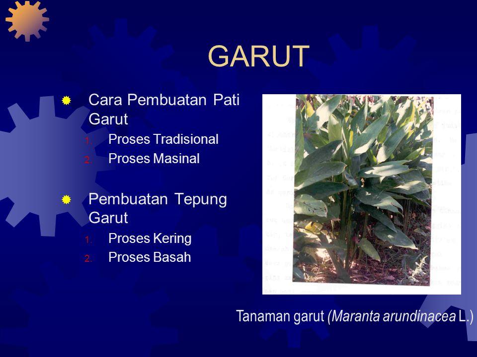 Tanaman garut (Maranta arundinacea L.)