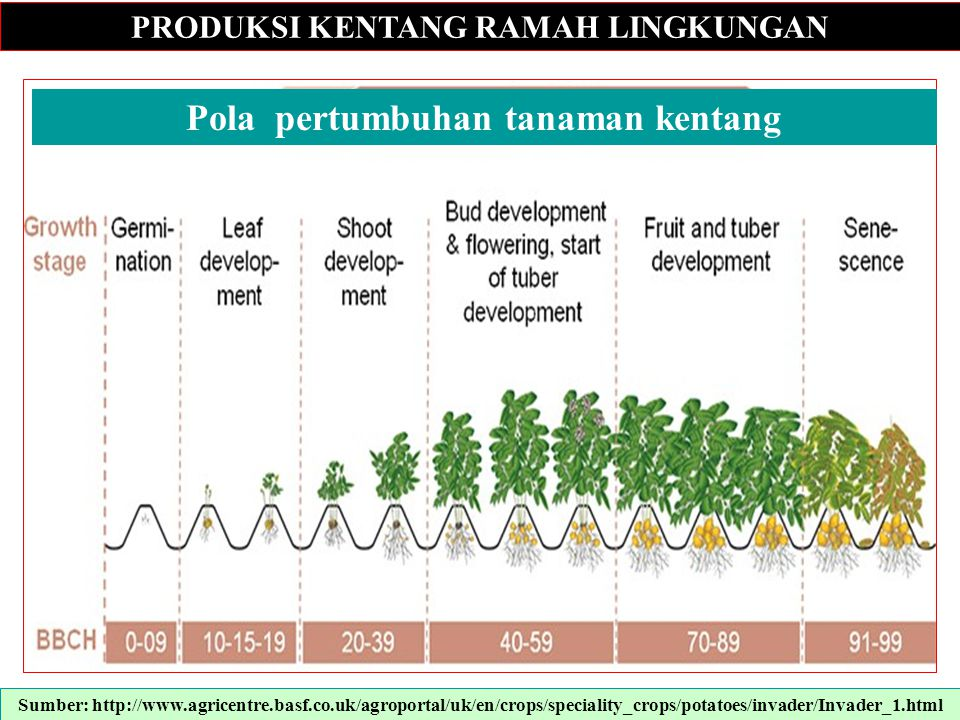 PRODUKSI KENTANG RAMAH LINGKUNGAN Pola pertumbuhan tanaman kentang
