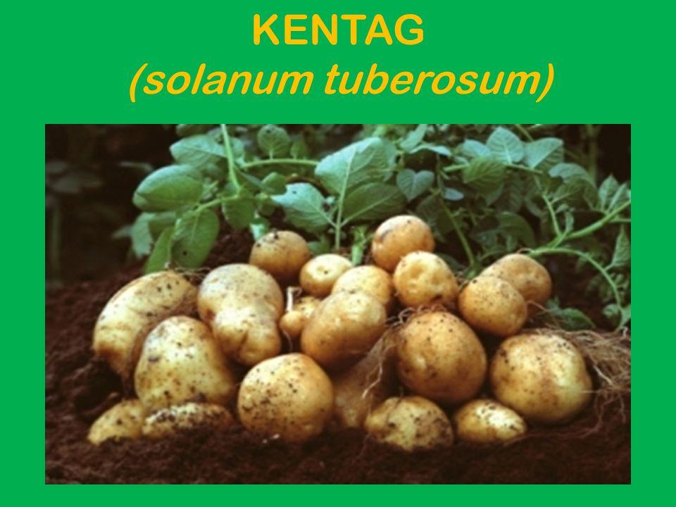 KENTAG (solanum tuberosum)