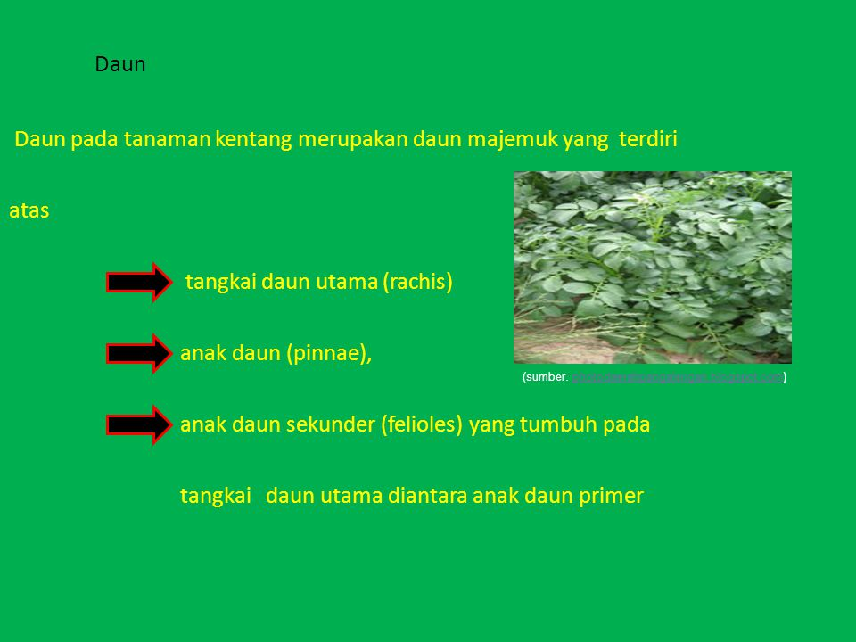 Daun pada tanaman kentang merupakan daun majemuk yang terdiri atas