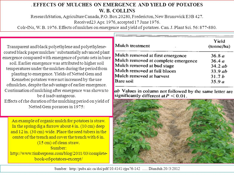 W. B. COLLINS . EFFECTS OF MULCHES ON EMERGENCE AND YIELD OF POTATOES