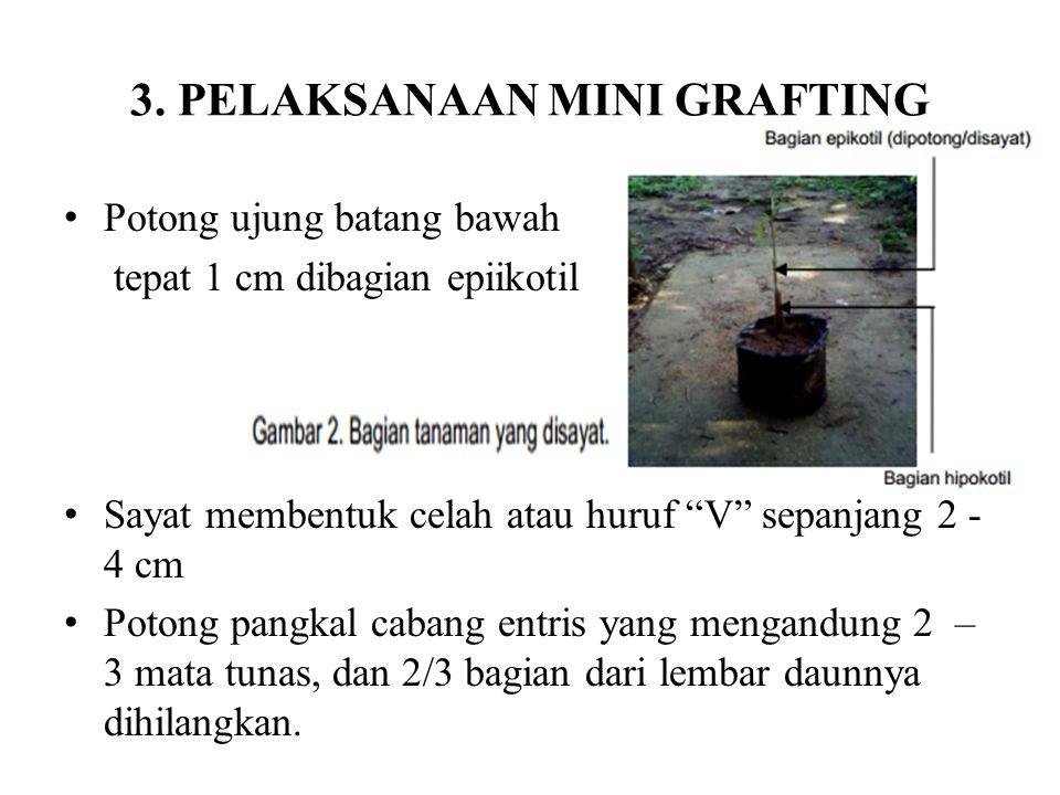 3. PELAKSANAAN MINI GRAFTING