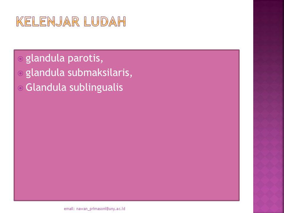 Kelenjar Ludah glandula parotis, glandula submaksilaris,