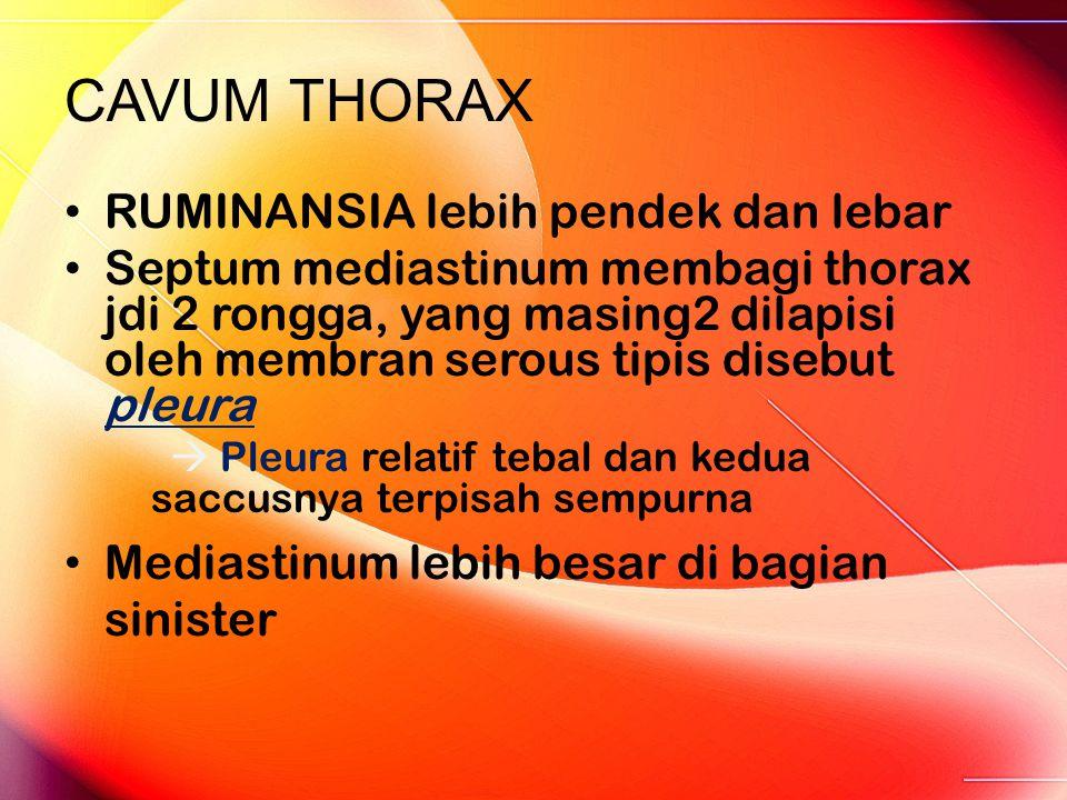 CAVUM THORAX RUMINANSIA lebih pendek dan lebar