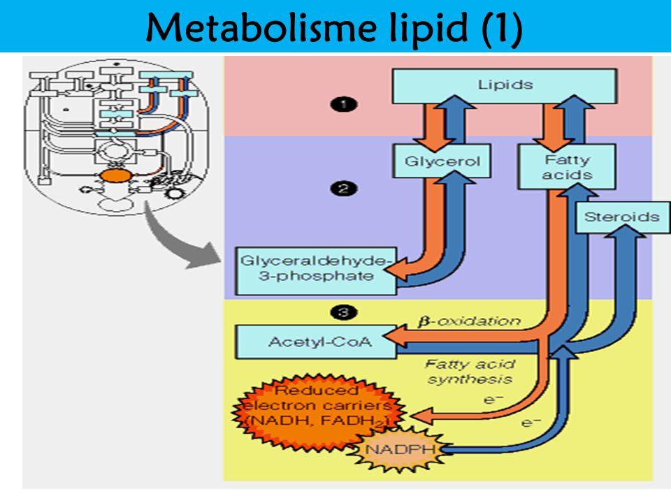 Metabolisme lipid (1) Title