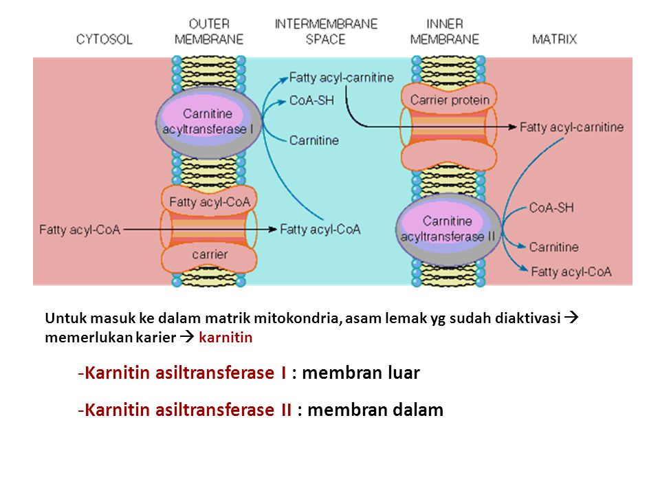 Title Karnitin asiltransferase I : membran luar