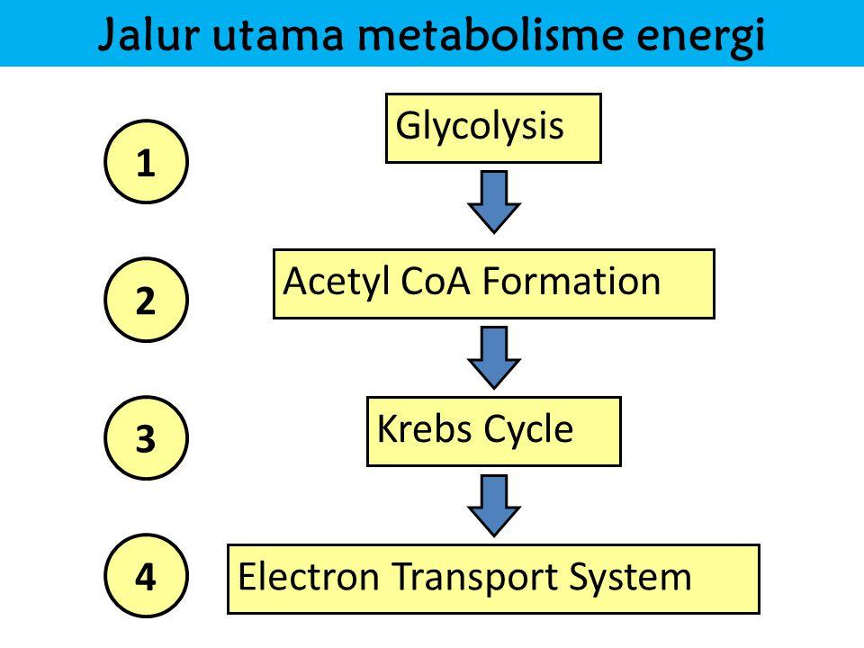 Jalur utama metabolisme energi