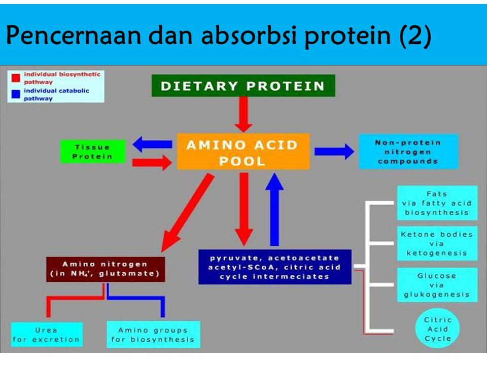 Pencernaan dan absorbsi protein (2)