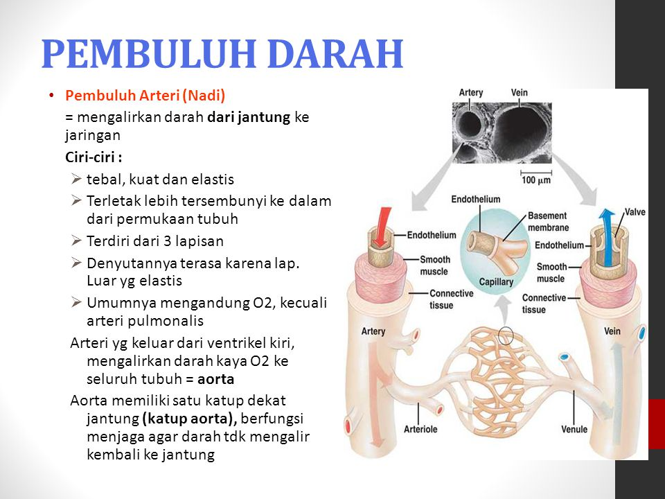 PEMBULUH DARAH Pembuluh Arteri (Nadi)