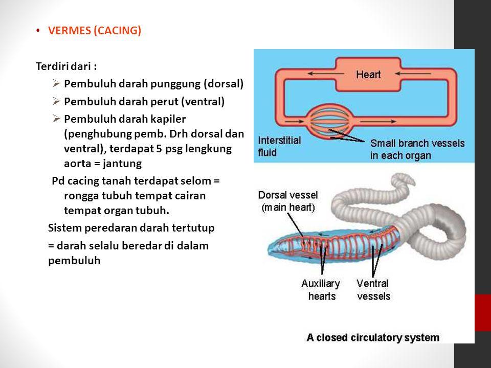 VERMES (CACING) Terdiri dari : Pembuluh darah punggung (dorsal) Pembuluh darah perut (ventral)