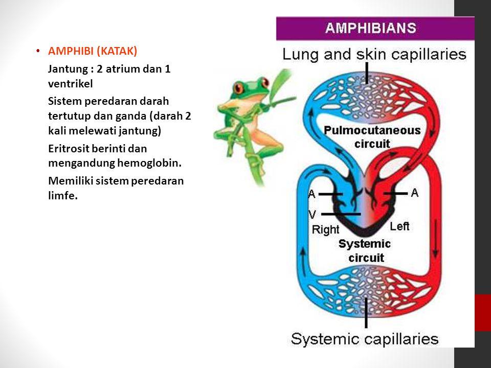AMPHIBI (KATAK) Jantung : 2 atrium dan 1 ventrikel. Sistem peredaran darah tertutup dan ganda (darah 2 kali melewati jantung)