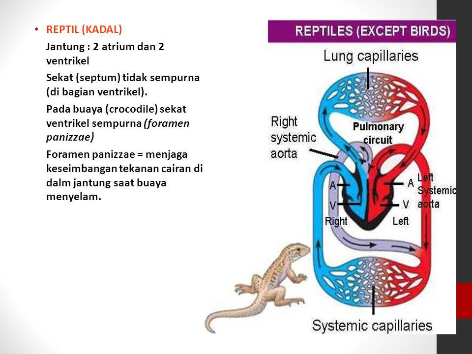 REPTIL (KADAL) Jantung : 2 atrium dan 2 ventrikel. Sekat (septum) tidak sempurna (di bagian ventrikel).